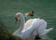 Cisne un niño (*) Fotos de archivo