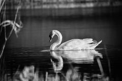 Cisne vanidoso foto de archivo libre de regalías