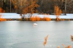 A cisne voa baixo sobre o lago congelado no inverno Fotografia de Stock Royalty Free