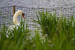 Cisne y él bebés del ` s Imagen de archivo