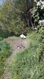 Cisne y amigos Foto de archivo libre de regalías