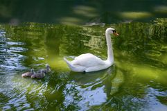 Cisne y bebés de la madre fotografía de archivo libre de regalías