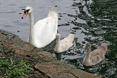 Cisne y bebés de la madre Fotos de archivo