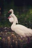 Cisne y compañero blancos Imagenes de archivo
