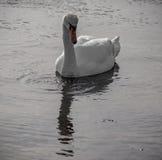 Cisne y descensos del agua Fotografía de archivo