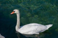 Cisne y embarcadero blancos Foto de archivo libre de regalías