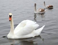 Cisne y familia blancos Imagen de archivo libre de regalías