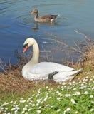 Cisne y ganso Fotografía de archivo