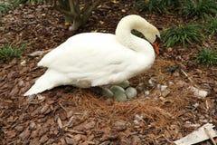 Cisne y huevos blancos mudos Fotografía de archivo libre de regalías
