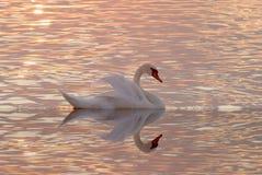 Cisne y lago Fotos de archivo libres de regalías