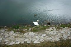 Cisne y pato Imagenes de archivo