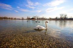 Cisne y pato en el lago Fotografía de archivo libre de regalías