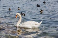 Cisne y patos blancos fotos de archivo libres de regalías