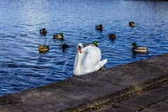 Cisne y patos en el lago Fotografía de archivo