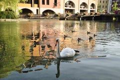 Cisne y patos en un río Fotos de archivo