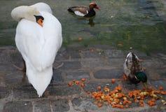 Cisne y patos junto Foto de archivo libre de regalías