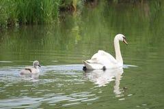 Cisne y pollo del cisne Imagen de archivo libre de regalías