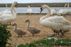 Cisne y pollos del cisne fotografía de archivo libre de regalías