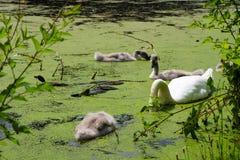 Cisne y pollos del cisne en un lago Imagen de archivo libre de regalías