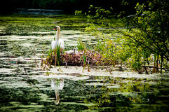 Cisne y polluelos en jerarquía Fotos de archivo