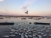 Cisne y río Imagenes de archivo