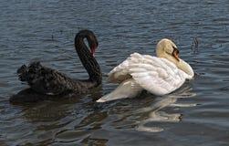 Cisnes foto de stock royalty free