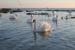 Cisnes. Imágenes de archivo libres de regalías