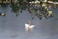 Cisnes Imagem de Stock Royalty Free