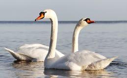 Cisnes. Fotografia de Stock Royalty Free