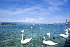 Cisnes Foto de archivo libre de regalías