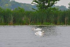3 cisnes imagem de stock