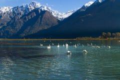 Cisnes Imagen de archivo