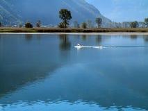 Cisnes Fotos de archivo