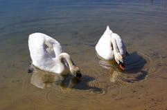 Cisnes. Foto de archivo