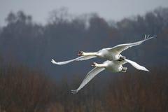 cisnes Imagens de Stock