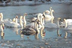 cisnes Foto de archivo