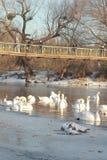 cisnes Fotografía de archivo