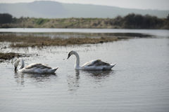 cisnes fotos de archivo libres de regalías