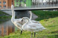 cisnes Fotografía de archivo libre de regalías