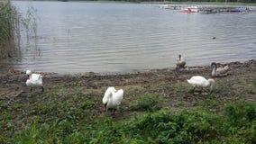 3 cisnes Imagem de Stock Royalty Free