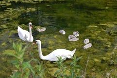 cisnes Imagen de archivo libre de regalías