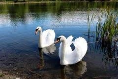 cisnes Foto de Stock