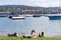 Cisnes adolescentes en el muelle Imagen de archivo