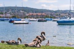 Cisnes adolescentes en el muelle Imágenes de archivo libres de regalías