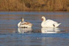 Cisnes adultas e juvenis no gelo Imagem de Stock