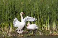 Cisnes adultos con sus jóvenes Fotos de archivo libres de regalías