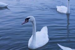 Cisnes agraciados blancos Imagen de archivo libre de regalías