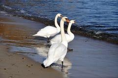 Cisnes azules en la costa de mar Báltico Fotos de archivo libres de regalías