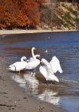 Cisnes azules en la costa de mar Báltico Imágenes de archivo libres de regalías