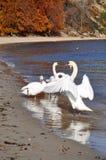 Cisnes azules en la costa de mar Báltico Fotos de archivo